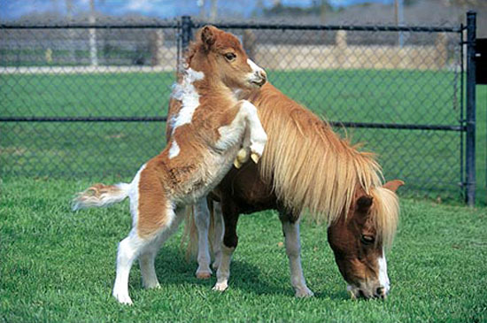 Cute miniature horses - photo#8