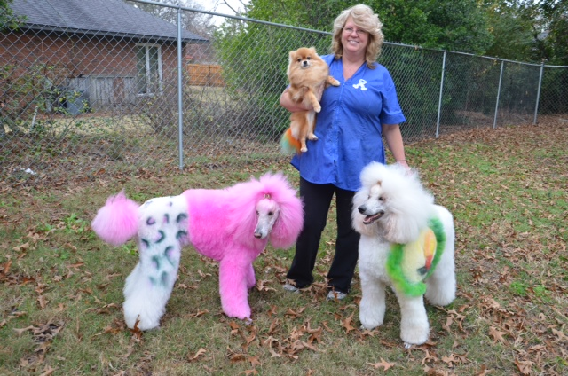 Blue Dyed Standard Poodle owns two standard poodles