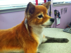 Dog that looks like fox